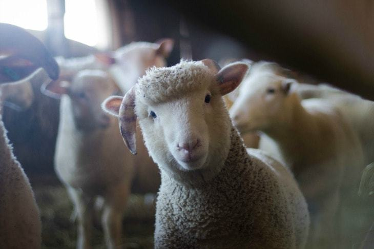 Merino sheep looking directly at the camera