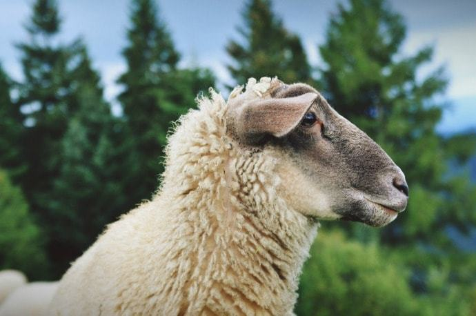 Close up picture of a sheep