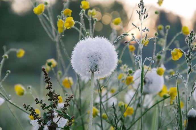 A field full of dandelions