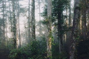 A foggy forest with tree trunks covered in ivy