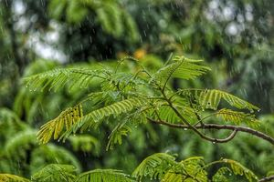 Leaves of a tree with rain falling on them